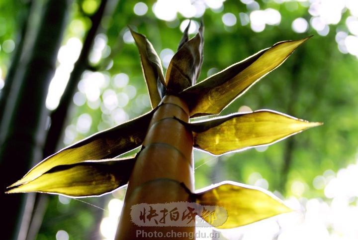 竹林里的竹笋图片